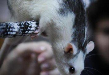 Szczury Szczury rasy. Rasa dekoracyjne szczurów