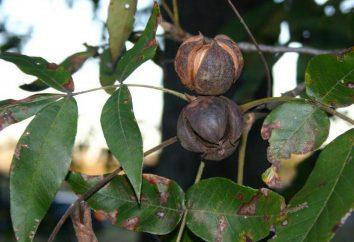 nogal: características y propiedades. Se parece a un árbol de nogal?