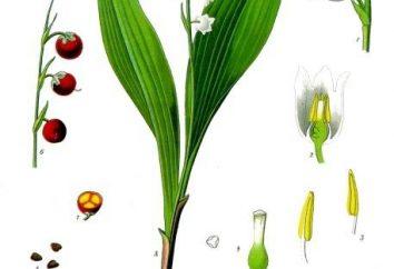 Konwalie: opis i zdjęcie. las konwalia