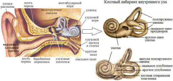 Anatomy: Struktur und die Funktion des Analysators auditory