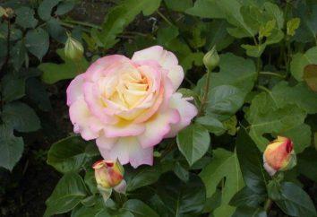 Rosa Gloria Dei: il più popolare nella storia del fiore