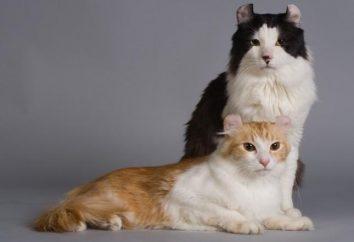 raza de gato Curl Americano – un verdadero compañero de la familia
