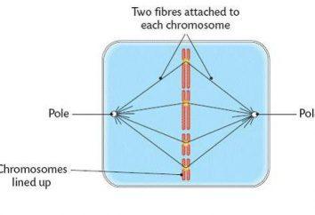 Mandrino – è … Descrizione, struttura e funzione