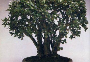 Por que as folhas caem da árvore do dinheiro? Como cuidar adequadamente para a árvore de dinheiro?