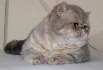 Egzotyczne – kot z dużymi oczami i spłaszczony pysk. opis rasy, zdjęcia