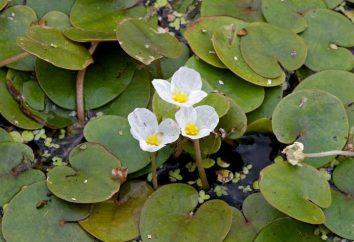 Vodokras rana: la descrizione della pianta e la cura