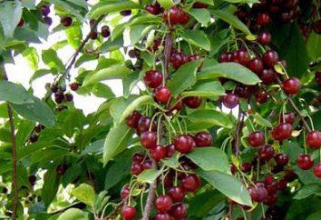 Jak sadzić wiśni na wiosnę: porady i wskazówki