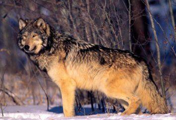 É possível domar o lobo na vida real?