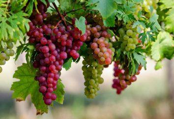 Pourquoi les feuilles de raisin sec? Les taches sur les feuilles de vigne