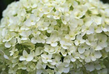 Anabel – ortensia per tutti i giardini. Piantare Hydrangea Annabelle e la cura