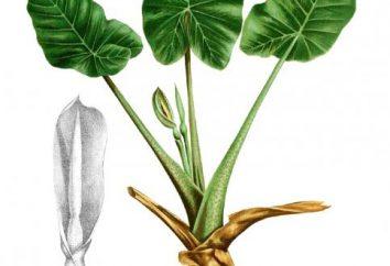 Alokaziya: propriétés thérapeutiques et utilisées dans la médecine traditionnelle, photos