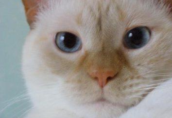chaton siamois: Description de la race, le caractère, les pratiques de soins et d'alimentation