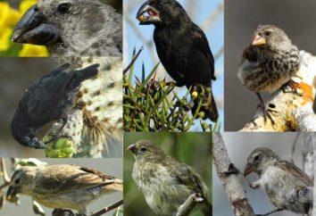 pinson Galapagos: l'origine des espèces. Les raisons des différences dans la structure du bec