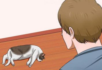 Udar mózgu u kotów: objawy, możliwych przyczyn i cech leczenia