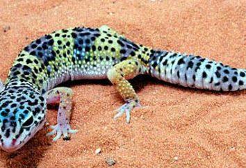 Gecko – Gecko jaszczurka jest …: pielęgniarstwo, karmienie, obudowa