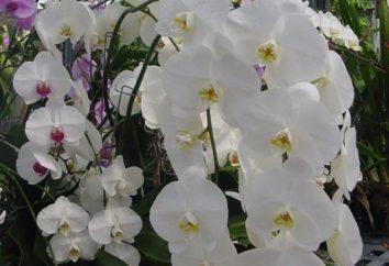 Fiore esotico Phalaenopsis: come prendersi cura di questo miracolo che piaceva con la sua bellezza?