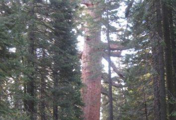 L'albero più alto. Giants-uomini belli