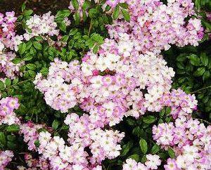 Ramos de rosas y lirios – el encanto de la ternura