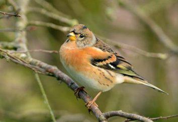 Uccello Yurok: foto e descrizione