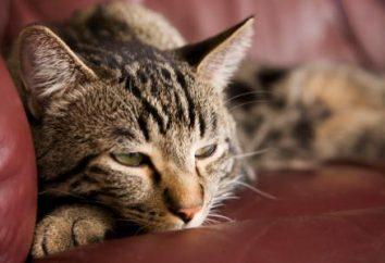 """Diagnoza """"cukrzyca"""" u kotów: objawy i leczenie, niż karmić"""