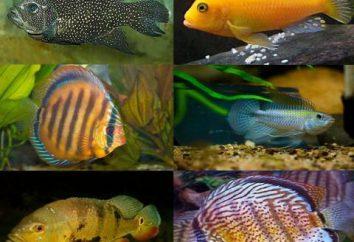 Ciclídeos de peixe de aquário: conteúdo, fotos