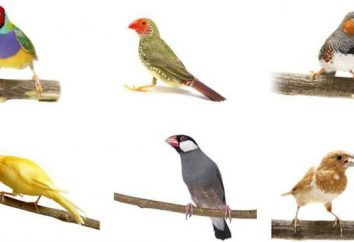 Types d'amadines: description et photo
