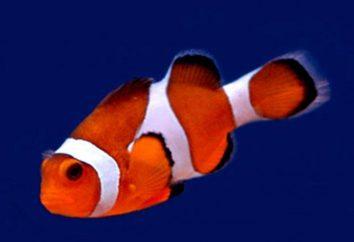 peces payaso en su casa