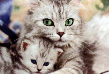 """TABLA """"La edad de los gatos en términos humanos."""" Cómo determinar la edad del gato?"""