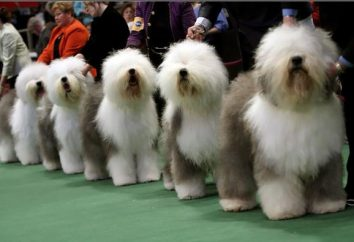 Bobtail – pies, który uosabia umysł, piękno i oddanie