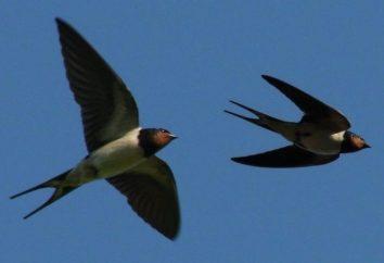 Jaskółki Ptaki – zwiastunami wiosny