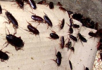 Les blattes sont de petite taille: comment regarder, comment traiter avec eux. cafard Auburn