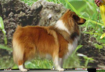 Piękny pies, podobny do lisa