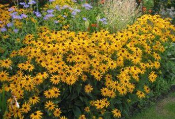 Rudbekia: opieka i wyżywienie. Solar kwiat w ogrodzie