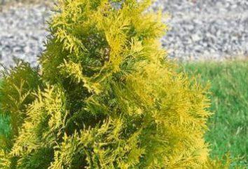 Yellow Ribbon (Thuja): Descrizione, semina, cura