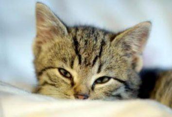 Krew w moczu kotów: leczenie i zapobieganie