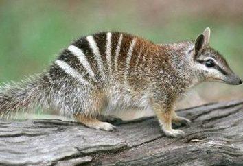 Alcuni marsupiali dell'Australia: un elenco e la descrizione delle