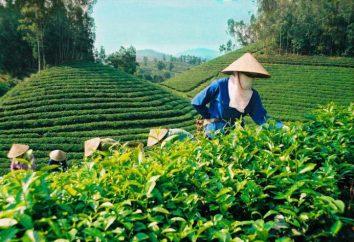 Vietnamita chá: descrição e comentários