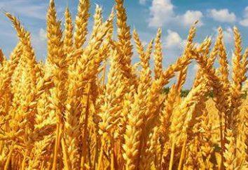 Trigo – ¿qué es? El valor de las plantas en la vida humana
