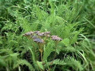 Yarrow: propriétés utiles et contre-indications de cette herbe remarquable