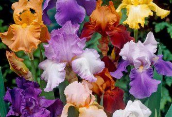 Qual è il giaggiolo? Le specie più note di iris: Descrizione con foto