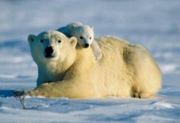 Mais comment et où la vie des ours polaires?