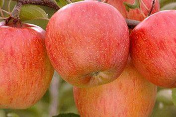 """""""Fuji"""" melo. Come funziona la mela """"Fuji"""": descrizione della varietà"""