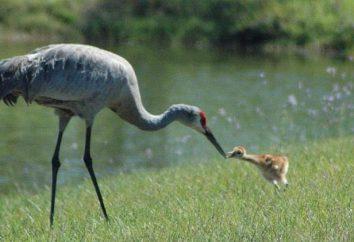 aves precoces: características de desenvolvimento e funcionamento