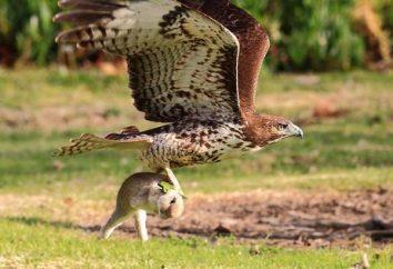 Wpływ na wygląd i biografii nazwy ptaków drapieżnych