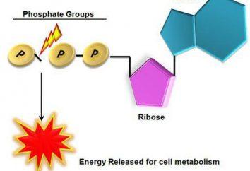 Struktura ATP i rola biologiczna. funkcje ATP