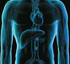 Qual è il ruolo del fegato nel corpo umano? Il ruolo del fegato nel processo di digestione