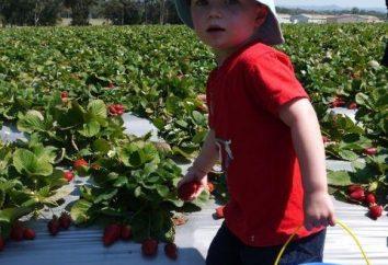 Quando você pode dar ao seu filho uma morango, e se é possível?