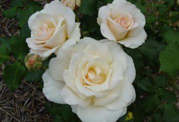 Rose French. Rose Garden – variétés, la culture, les soins