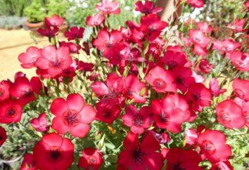 Linum grandiflorum: crecimiento de la semilla. Cómo cuidar de lino en el jardín?