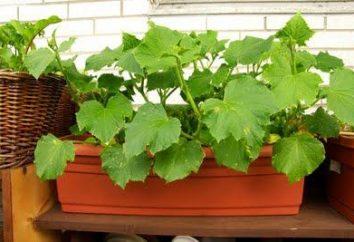"""La coperta """"giardino"""": come far crescere i cetrioli su un balcone"""